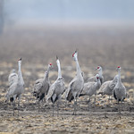Three trumpeting Sandhill Cranes (Grus canadensis) in a cornfield near Gibbon, Nebraska thumbnail