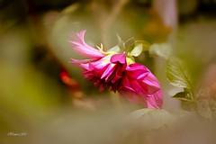 Peaceful bend (traptiantiwary) Tags: flower flowerbud bonsai bloom gardenflowers haze petals nature outdoor canon