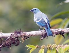 IMG_8012 Blue-gray Tanager (suebmtl) Tags: bluegraytanager ecuador copalingalodge zamora songbird thraupisepiscopus coelestis zamorachinchipeprovince