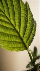 Blattdetail / Leaf detail (ludwigrudolf232) Tags: blatt grün details
