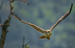 bird (sandilesmana28) Tags: bird eagle raptor wing nature telephoto flying flight dof bokeh