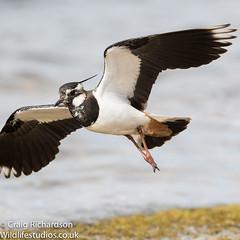 Lapwing (Wildlifestudios) Tags: lapwing bird nature craigrichardson wildlifestudios