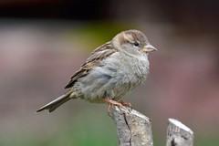DSC_4403 (sylvettet) Tags: bird oiseau moineau sparrow nature 2017 extérieur