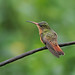 A87A9572 Cinnamon hummingbird
