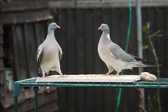 21 April 2017 (4) (AJ Yakstrangler) Tags: yakstrangler pigeon pigeons