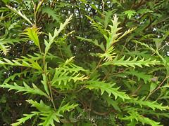 Grevillea leaves (Su_G) Tags: sug 2017 greenery green grevillealeaves grevillea leaves spikeyleaves australianwildflower australiana australian botanical leafshape effectsofrain