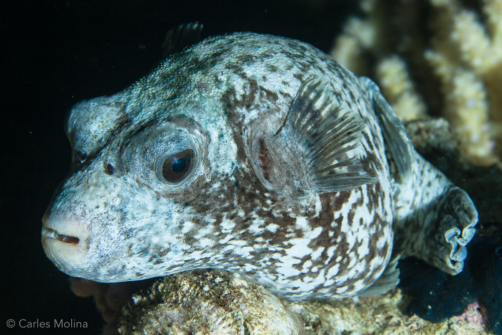 The World 39 S Best Photos Of Fish And Pufferfish Flickr
