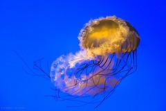 Infinity (Q-lieb-in) Tags: calmness china infinity jellyfish minimalism phototravel qliebin travel underwater water