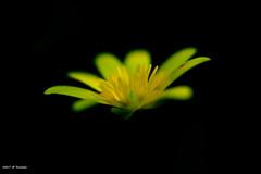 Tache rouge (jpto_55) Tags: jaune fleur ficaire macro bokeh fondnoir xe1 fuji fujifilm omlens hautegaronne france om50mmf2macro