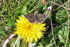 in der Drover Heide blüht noch wenig (mama knipst!) Tags: löwenzahn dandelion pisenlit blume flower schmetterling butterfly natur frühling spring april