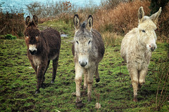 beasts of burden (dorameulman) Tags: donkeys portrait landscape haiku poem thegoatspath sheepsheadpeninsula cocork ireland dorameulman canon canon7dmark11