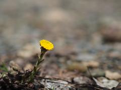 Huflattich - Tussilago farfara (michaelmueller410) Tags: blume kraut heilpflanze wildblume heilkraut gelb söse steine bokeh dof yellow huflattich coltsfoot
