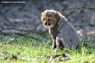 Cheetah cub - Safaripark Beekse Bergen