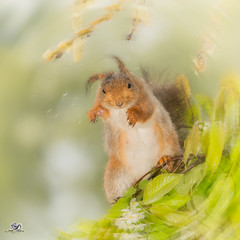 shake it all out (Geert Weggen) Tags: red nature animal squirrel rodent mammal cute look closeup stand funny bright sun backlight eyes hypnosis staring watching hide glimpse peek top up balance tree branch leaves spring flower jasmine rest wet water drop shake jump attack geert weggen hardeko bispgården jämtland sweden geertweggen