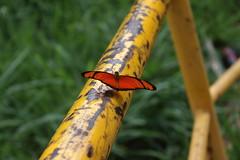 Borboleta bairro São João JM - Wir Caetano - 26 04 2017 (12) (dabliê texto imagem - Comunicação Visual e Jorn) Tags: borboleta inseto amarelo escada ferrugem