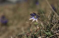délavée... (bulbocode909) Tags: fleurs nature printemps valais susse montchemin alpagedutronc hépatites herbe vert