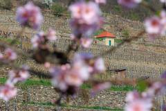 In den Weinbergen (Fotos4RR) Tags: weinberg vineyard wachau niederösterreich loweraustria österreich austria kirschblüte kirschbaum baum tree cherryblossom haus house frühling frühlingsblüte spring springblossom