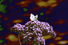 """Visitor to the Rose Garden"" (maginoz1) Tags: cockatoos butterfly art contemporary manipulate autumn march 2017alisterclarkmemorialrosegarden bulla melbourne victoria australia canon g3x"