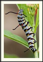 Danaus gilipus - Queen Butterfly (J. Amorin) Tags: insectos larvas mariposasypolillas macuspana tabascomexico danausgilipus queenbutterfly mariposasdemexico mariposasdetabasco amorin macro canon10028macro canon7d catterpillar gusano