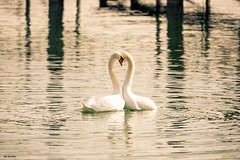 two hearts (janiiboy86) Tags: nature love schwan spiel two hearts animals swan lake constance bodensee liebes