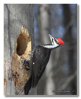 103A7923-DL   Grand pic (femelle) / Pileated Woodpecker (female).