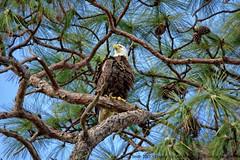 American Bald Eagle (NancySmith133) Tags: americanbaldeagle greenwoodcemetery centralfloridausa thecitybeautiful
