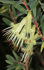 Styphelia viridis (Jenny Thynne - trying to catch up) Tags: plant granitebelt greenlands sequeensland stypheliaviridis ericaceae flower green five corners australiannativeplant