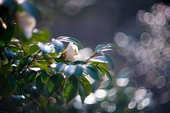 In the Afternoon Sunlight (moaan) Tags: ernestleitzwetzlarsummarexf85cm kasai hyogo japan jp flower flowering flora camellia afternoon sunlight afternoonsunlight hope joy bokeh bokehballs dof utata 2017 leica mp leicamp type240 summarex 85mm f15 leicasummarex85mmf15
