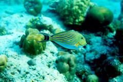 Surgeon fish (Landersz) Tags: philippines filippine coron palawan club paradise snorkeling turtle shark clownfish nemo dugong landersz canon 5dmk3 nimar gopro hero5