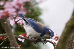 California Scrub-Jay (youngwarrior) Tags: californiascrubjay aphelocomacalifornicainmanis salem oregon bird jay corvid