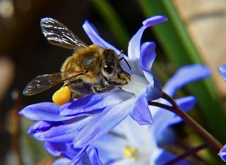 Biene bei der Arbeit - bee at work