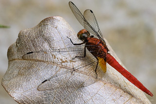 4_Dragonfly_DSC2760