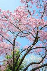 Brightness (H.H. Mahal Alysheba) Tags: flower sakura cherry cherryblossom tokyo japan spring nikon d800 carlzeiss zeiss distagon 28mmf2