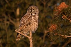 Watching the Sun go down (NicoleW0000) Tags: great gray owl wild wildlife photography outdoors golden hour