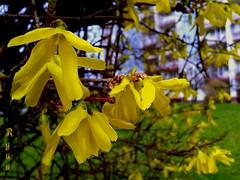 yellow forsythia bush [explored] (Ola 竜) Tags: forsythia yellowflowers macro forsythiasuspensa golden flower focus dof vivid colorful bush spring green grass twigs branches bokeh balconies urbannature