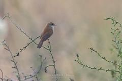 Cetti's Warbler (fire111) Tags: cettis warbler zanger bird birding wild wildlife rare zeldzaam