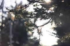 IMG_1242 (Vudidi) Tags: april spring trees grove woods early sunray morning daylight spruce forest fir дневнойсвет солнечно утреннийлес запахилеса лес блики солнце ель bokeh russia sovietlens