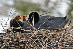 Can we go for a swim now, can we ? (Mr.White@66) Tags: waterbirds coot fulicaaltra pond nest commoncoot fujifilm fujifilmxt2