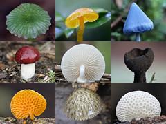 Mushroom Mosaic, Waikato, New Zealand (brian nz) Tags: mushroom fungi fungus waikato newzealand nz