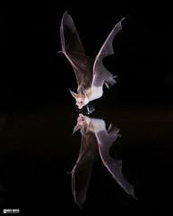 Pallid bat (Corey Hayes) Tags: pallidbat bat flight drinking wild night mammal flying nature