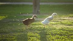 baby_ducks1