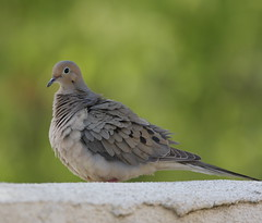 1DM37624 View Large. Backyard visitor. Mourning Dove (E.W. Smit Wildlife) Tags: menifee menifeecalifornia wildanimals tourist tourists telephotolens unitedstatesofamerica usa outdoor outdoors supertelephotolens bird birds ocean park parks pacificocean animal avian animals socal southerncalifornia lake canon nature wildlife blueheron heron greatblueheron oc california inlandempire riversidecounty oasis oasismenifee oasismenifeeca mourningdove dove 1dmarkiii eos1dmarkiii canon1dmarkiii ef300mmf28lis ef300mmf28lisusm ef300mmf28lis14x ef300mmf28lisusm14x canonef300mmf28lis canonef300mmf28lisusm canonef300mmf28lis14x canonef300mmf28lisusm14x
