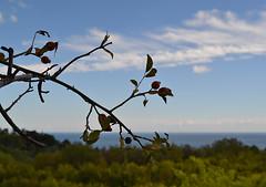 Briar and Black sea (МирославСтаменов) Tags: crimea briar branch shrub shoot sea horizon sky cloudscape cirrus plant greenery fruit plantings