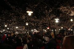 IMG_6414 Maruyama Koen (drayy) Tags: kyoto japan gion temple kiyomizudera maruyamakoen park sakura cherryblossoms 日本 京都 清水寺 円山公園 花見 桜