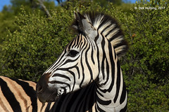 Burchell's Zebra 121289gb (Dirk Huitzing) Tags: burchellszebra equusburchelli
