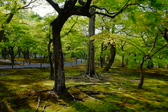 Kaede at Tofukuji (T.Machi) Tags: green maple kaede kyoto japan garden moss fujifilm x70 tree shadow light