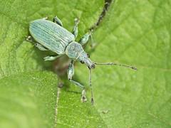 Nettle Weevil (sivaD nhoJ) Tags: weevil nettleweevil phyllobiuspomaceus insect invertebrate arthropod animal wildlife nature 2017 macro