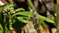 Tentacles (alansurfin) Tags: monarch butterfly caterpillar tentacles face larvae black yellow white patterns