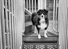 16/52 - Playground [Explored] (jayvan) Tags: dash aussie australianshepherd dog playground posed monochrome blackandwhite bw 52wfd 52weeksfordogs portland oregon sony