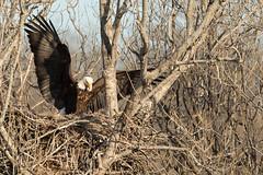 Bald Eagle Nest (William Van der Hagen) Tags: bald nest nesting eagle eagles pair